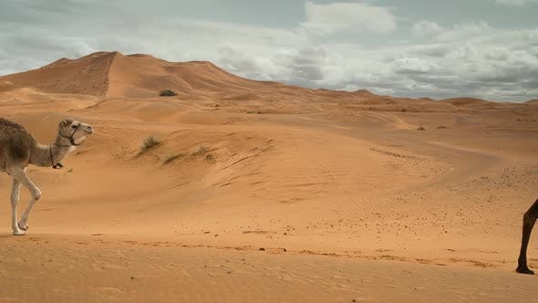 Thumbnail for Merzouga Camel 00
