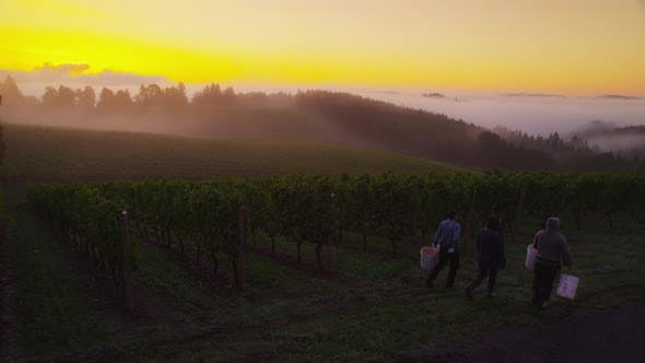 Thumbnail for Oregon, USA - October 4, 2013: Workers prepare for harvest at sunrise in vineyard. Shot on RED EPIC