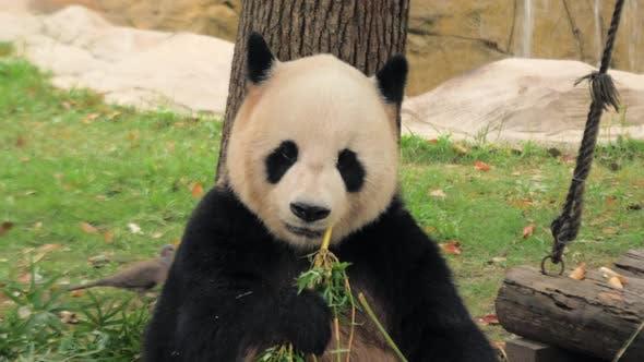 Thumbnail for Rare Cute Giant Panda Eating Bamboo Stems, Shanghai Zoo, China