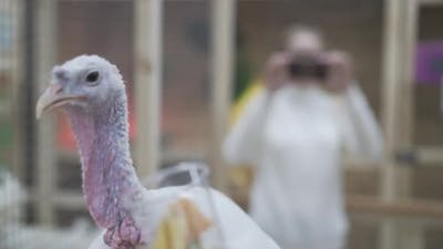 Somebody Feeds a Sick Turkey From Plastic Cup