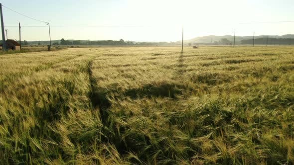 Thumbnail for Wheat Field in Spring at Sunrise