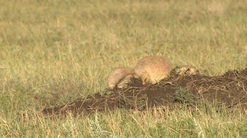 Black-tailed Prairie Dog Pair Digging Pushing in Summer Dirt Excavating Mound
