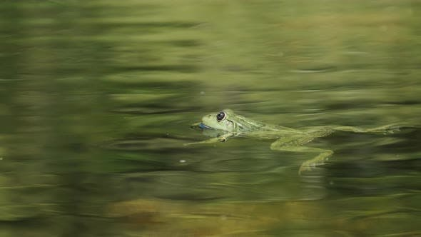 Thumbnail for Green Frog Sits in the Marsh