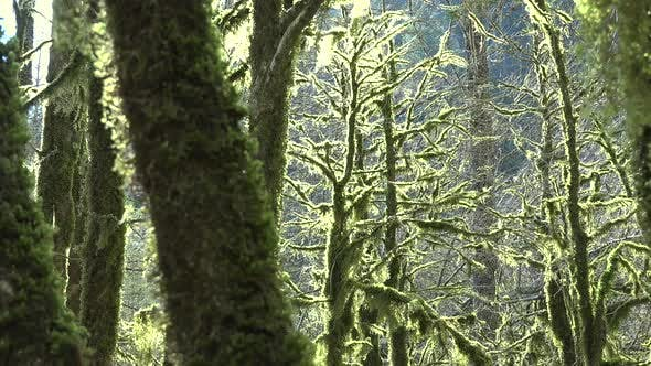 Mossy Tree Branches in a Mystic Forest Completely Covered With Moss
