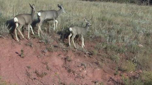 Mule Deer Doe Female Adult Immature Several Walking Moving in Autumn