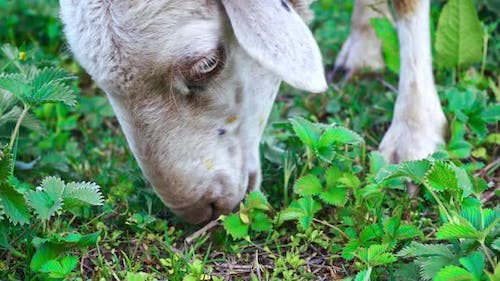 Sheep Eating Green Grass On The Meadow In Manali, Himachal Pradesh, India.