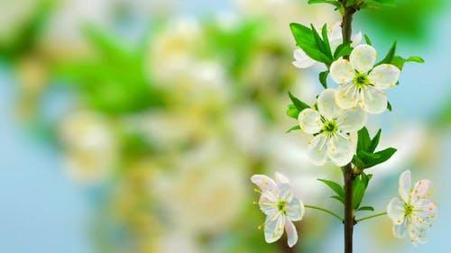 Wild Plum Flower Blossom on Blue