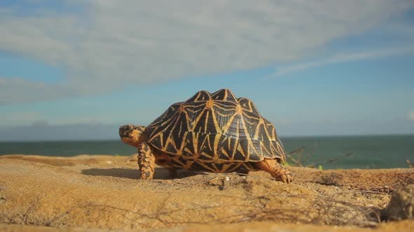Turtle on the Seashore Ocean Close-up. Sri Lanka. Asia
