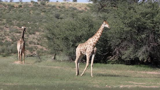 Thumbnail for cute Giraffes, South Africa wildlife