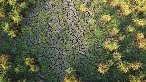 Dürre trockenes Reis Paddy Feld.
