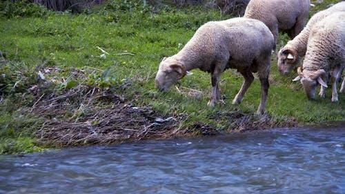 The Mammal Animal Sheep Near The River 4