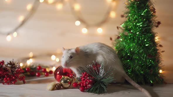 Thumbnail for Grey Home Rat on the Background of Christmas or New Year Decoration. Symbol of 2020 in the Chinese