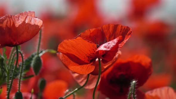 Thumbnail for Red Poppy Flowers at Summer Time Close-up