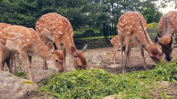 Thumbnail for Young Deer Eating Grass. Herd of Young Orange Deer in a White Spot Eating Green Grass