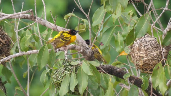 Thumbnail for Male weaver bird around his nest