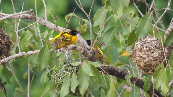 Male weaver bird around his nest