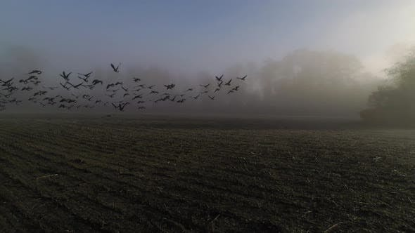 Thumbnail for Canadian Geese Flying Over Farm Land In Fog Coud