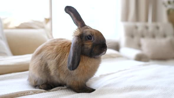 Thumbnail for Cute Domestic Rabbit Sitting On Bed In Bedroom
