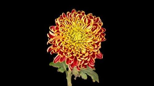Beautiful Red - Yellow Chrysanthemum Flower Opening