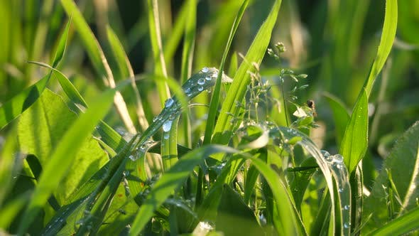 Thumbnail for Dewdrops on the Lush Vegetation at Dawn
