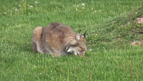 Thumbnail for Canada Lynx Adult Lone Eating Feeding in Summer Green Grass