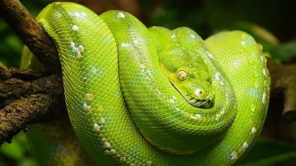 Thumbnail for Green tree python profile portrait close up