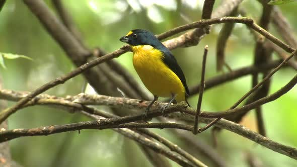 Yellow-throated Euphonia Male Adult Lone Perched Turning Around