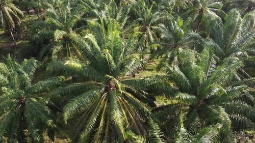 Green oil palm leaves