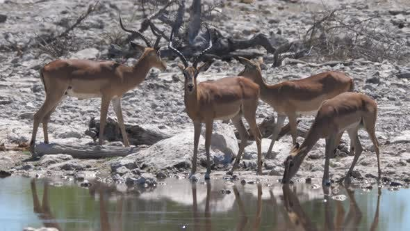 Thumbnail for Herd of Impala around a pond