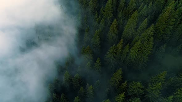 Thumbnail for Misty Forest. View of Flying Over Pine Forest in the Morning, Magical Fog in Mountain, Aerial Shot,