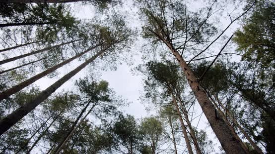 Move Camera Bottom View of Sky Through Tall Trunk Foliage Trees in Autumn Forest Nature
