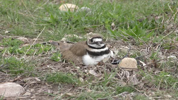 Thumbnail for Killdeer Bird or Shorebird Nesting Incubating on Ground in Spring