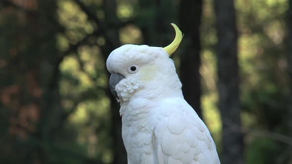 Thumbnail for Close up from a Cockatoo in the Dandenong ranges
