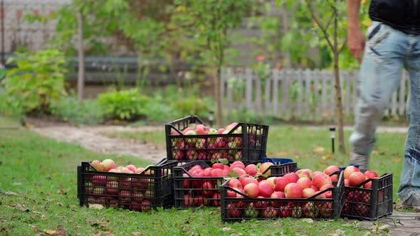 Harvesting apples in the countryside