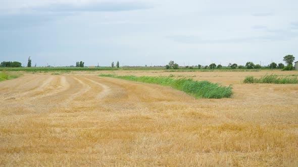 Wheat Field Cut with Green Grass