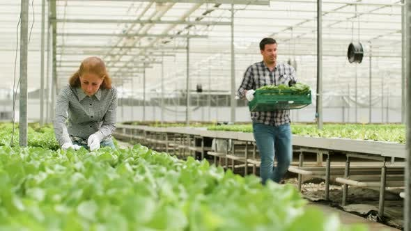 Thumbnail for Farm Worker Carry a Box of Green Salad in a Greenhouse