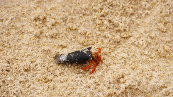 Thumbnail for Tiny Hermit Crab on Beach