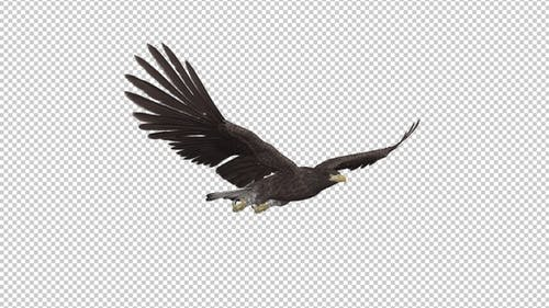 Eurasian White-tailed Eagle - Flying Loop - Front Angle View