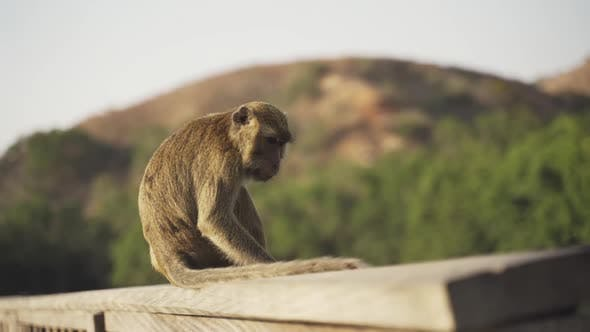CrabEating Macaque On Komodo Island