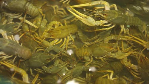Live Crayfish in Fish Tank in Seafood Market