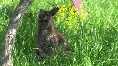 Kangaroo in the Grass