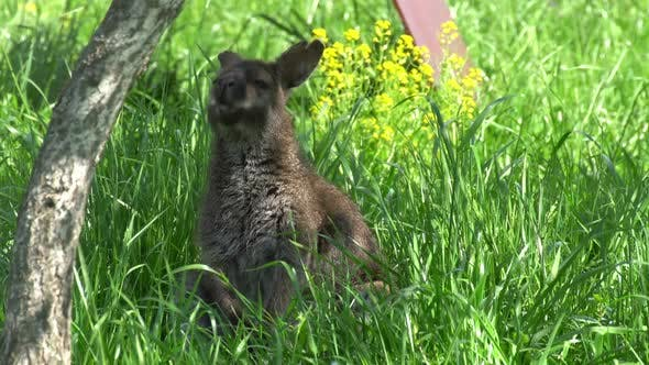 Thumbnail for Kangaroo in the Grass