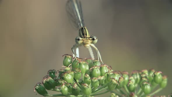 Dragonfly From Family Coenagrionidae