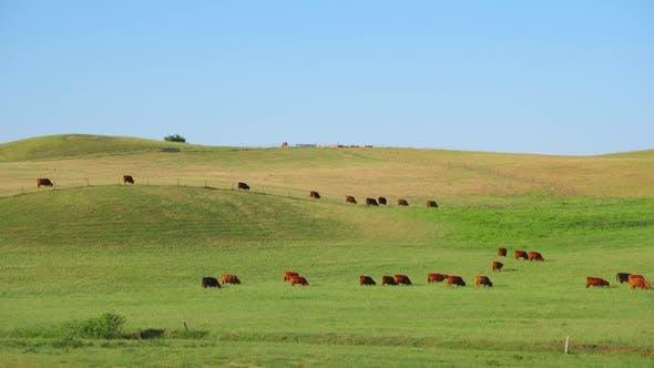 Thumbnail for Rote schottische Kühe grasen auf der Wiese