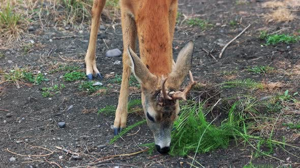 Cute Young Deer Eating Grass at the Farm