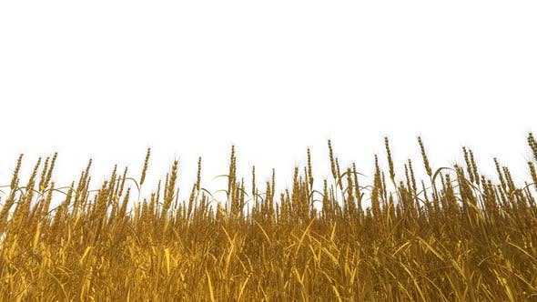 Thumbnail for Wheat Isolated