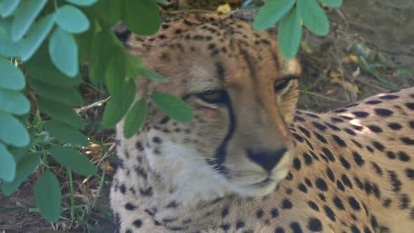 Thumbnail for Lying Jaguar Closeup Portrait