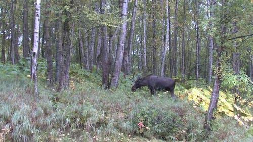 Moose Bull Adult Alone Standing in Autumn in Alaska