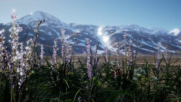 Thumbnail for Lavender Field with Blue Sky and Mountain Cover with Snow