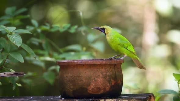 Thumbnail for Jerdon's Leafbird in Sri Lanka